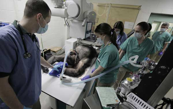 "<div class=""meta image-caption""><div class=""origin-logo origin-image ""><span></span></div><span class=""caption-text"">Members of the Veterinary Services Department within the Chicago Zoological Society perform radiographs of Binti Jua, a 22-year-old female western lowland gorilla, as the team performs physicals on two of the Brookfield Zoo's six gorillas, Thursday, March 10, 2011, in Brookfield, Ill. During the physicals performed every couple of years, the team draws blood to test cholesterol, metabolism, kidney and liver functions, performs dental and eye exams, takes radiographs of the chest and abdomen, and the team also does a cardiac ultrasound.  ((AP Photo/M. Spencer Green) )</span></div>"